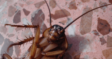 Cockroaches Are Now Immune to Insecticides, Making Them A Superbug