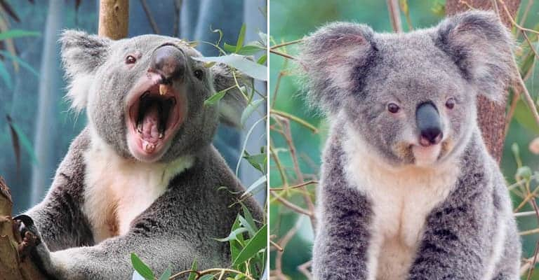 25 Times Koalas Were Anything But Cute