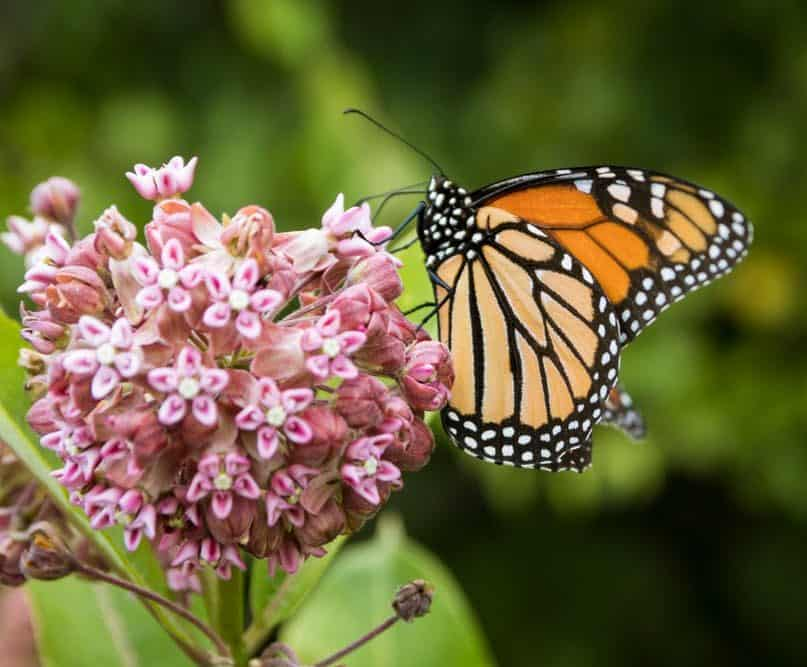 Monarch Patterns Are Changing – Here's Why