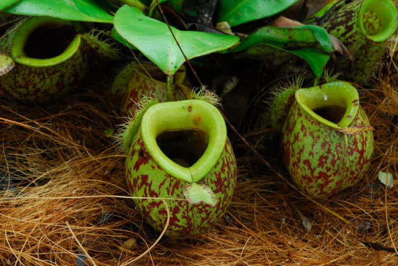 The Venus Flytrap Isn't the Only Carnivorous Plant